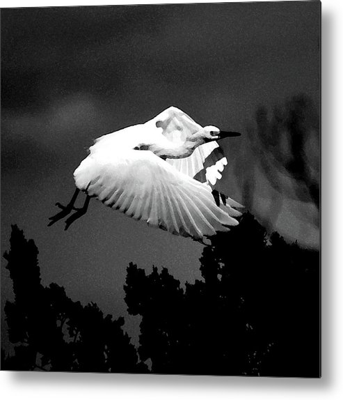 Snowy Egret Metal Print featuring the photograph Dawn Flight II by Lisa Scott