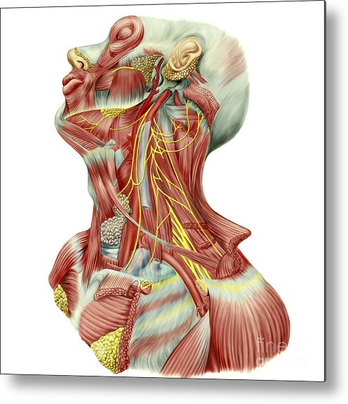 Biomedical Illustrations Metal Print featuring the digital art Detailed Dissection View Of Human Neck by Stocktrek Images