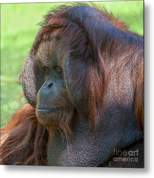 Orang Untang Metal Print featuring the photograph Dopey Eyes by Heiko Koehrer-Wagner