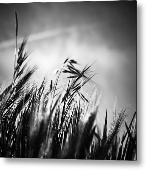 Spikes Metal Print featuring the photograph Espigas by Felix M Cobos