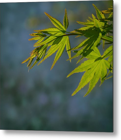 Leaf Metal Print featuring the photograph Fresh Green Leaves by TouTouke A Y