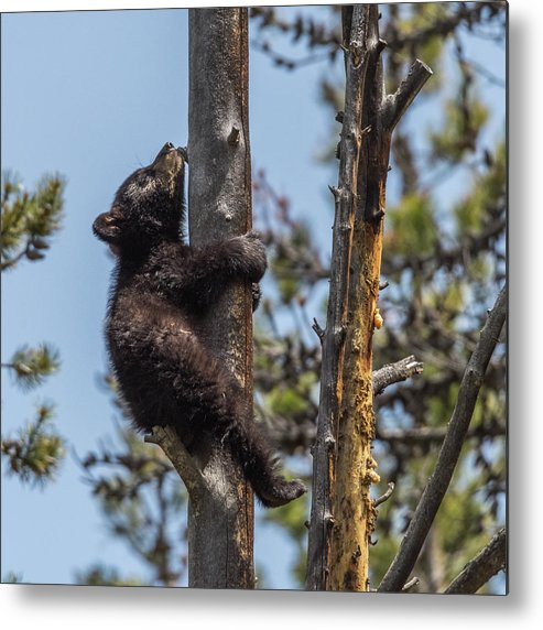 Black Bear Metal Print featuring the photograph Holding On by Yeates Photography