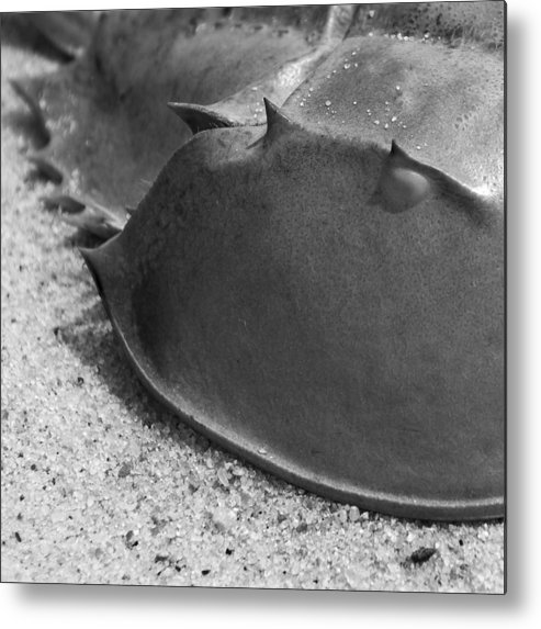 Horseshoe Metal Print featuring the photograph Horseshoe Crab by Charles Harden