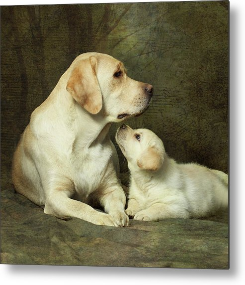 Square Metal Print featuring the photograph Labrador Dog Breed With Her Puppy by Sergey Ryumin