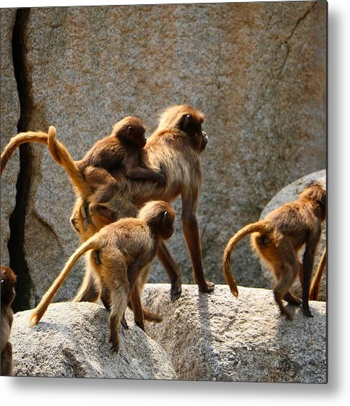 Animal Metal Print featuring the photograph Monkey Family by Dennis Maier