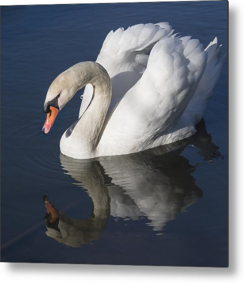Birds Metal Print featuring the photograph Mute Swan Reflected by Bruce Frye
