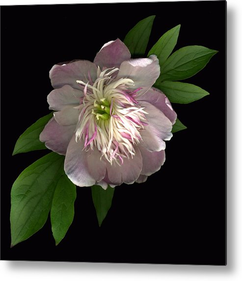 Scanography Metal Print featuring the photograph Peony Full by Deborah J Humphries