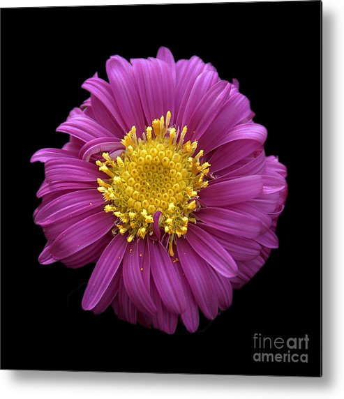 Flowers Metal Print featuring the photograph Pink Dahlia On Black Velvet by Neil Doren