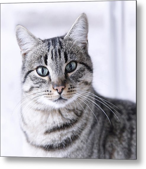 Square Metal Print featuring the photograph Portrait Gray Tabby Cat by Maika 777