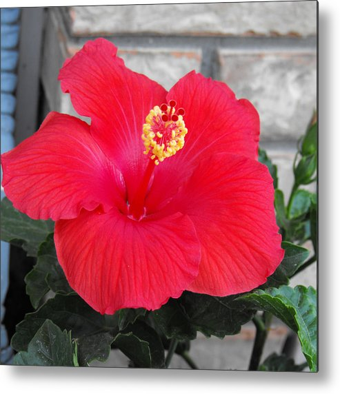 Photography Metal Print featuring the photograph Red Hibiscus by Ruth Palmer