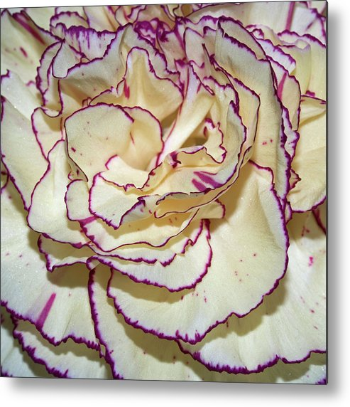 Red Tipped Carnation Metal Print featuring the photograph Red Tipped Carnation by Robert Shard