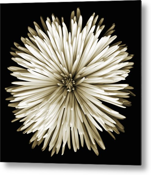 Scanography Metal Print featuring the photograph Spider Mum In Sepia by Deborah J Humphries