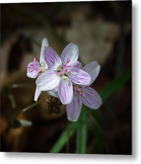 Spring Beauty Metal Print featuring the photograph Spring Beauty Macro by Michael Dougherty