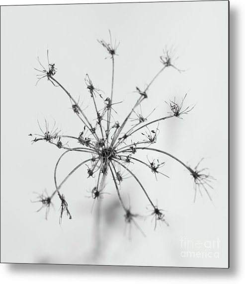 Dry Metal Print featuring the photograph Star by Gabriela Insuratelu
