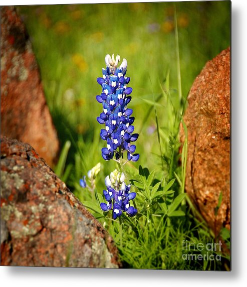 Landscape Metal Print featuring the photograph Texas Bluebonnet by Jon Holiday