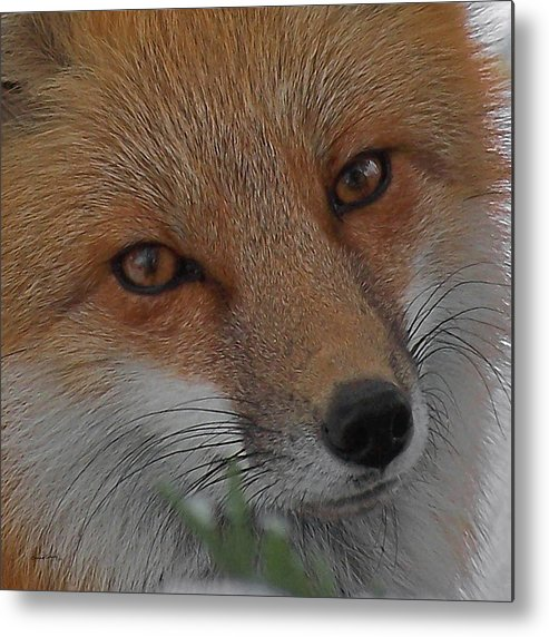 Red Fox Metal Print featuring the photograph The Fox 4 Upclose by Ernie Echols