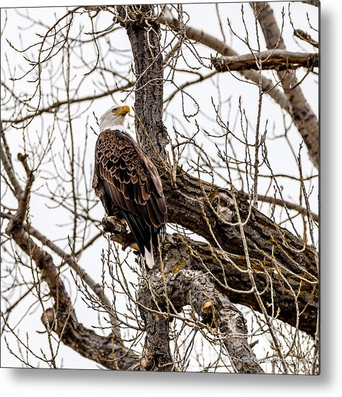 Bald Eagle Metal Print featuring the photograph The Protector by Yeates Photography