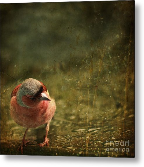 Chaffinch Metal Print featuring the photograph The Sad Chaffinch by Angel Ciesniarska