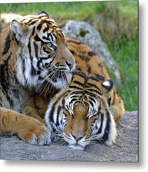 What A Good Buddy Metal Print featuring the photograph What A Good Buddy by Wes and Dotty Weber