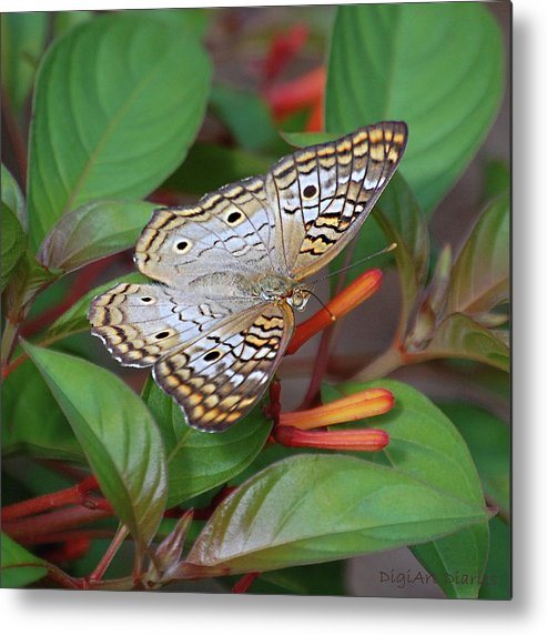 Butterflies Metal Print featuring the digital art White Peacock Butterfly by DigiArt Diaries by Vicky B Fuller