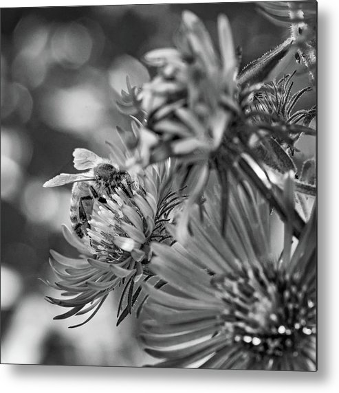 Steve Harrington Metal Print featuring the photograph Wild Aster And Honey Bee Bw by Steve Harrington