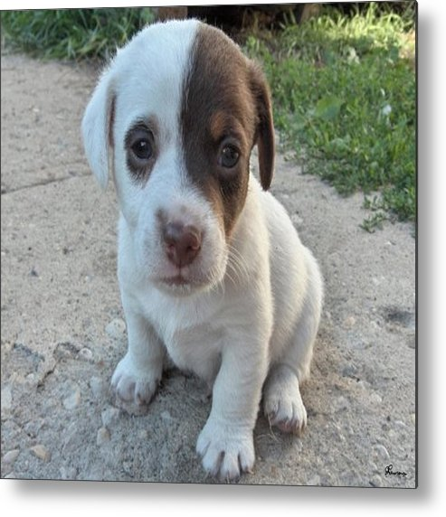 Puppy Jack Russell Terrior Dog Dogs Pets Animals Domestic Puppies Cute Metal Print featuring the photograph Will You Be My Friend by Andrea Lawrence