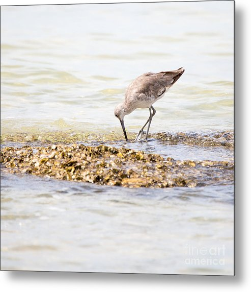 Willet Metal Print featuring the photograph Willet Set 2 Of 4 By Darrell Hutto by J Darrell Hutto