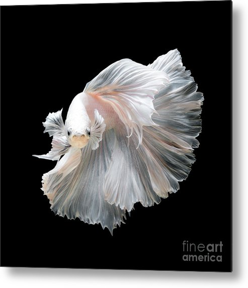 Fancy Metal Print featuring the photograph Close Up Of White Platinum Betta Fish by Nuamfolio