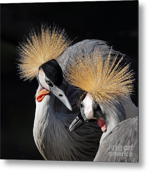 Feather Metal Print featuring the photograph Duo Of Crowned Cranes On A Dark by Pictureswild