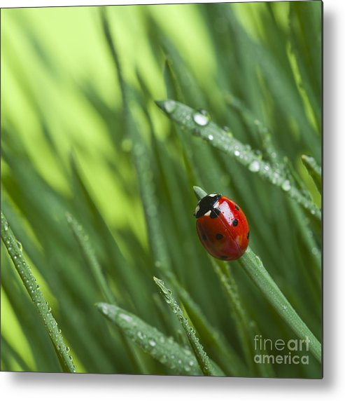 Ladybug On Leaf Metal Print featuring the photograph Ladybird On Grass by Didecs