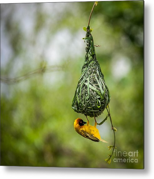 Small Metal Print featuring the photograph Nest-building by Bartosz Budrewicz