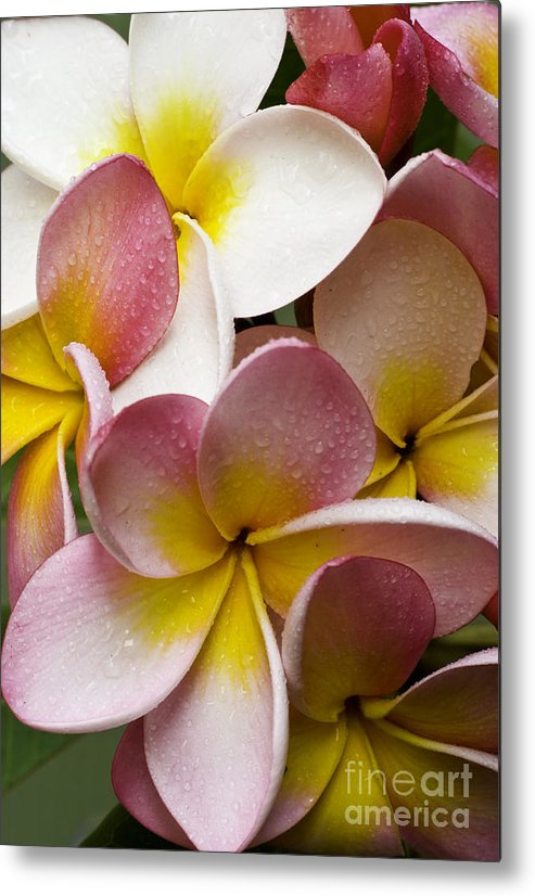 Pink Frangipani Metal Print featuring the photograph Pink Frangipani by Sheila Smart Fine Art Photography