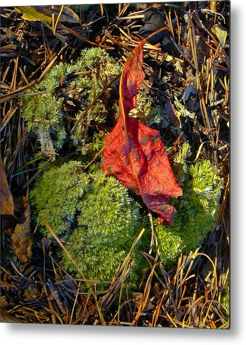 Red Metal Print featuring the photograph Red Leaf On Moss by Douglas Barnett