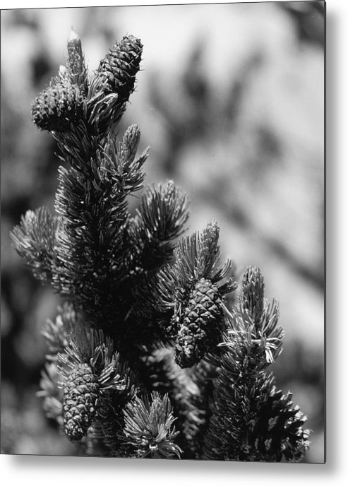 Nature Metal Print featuring the photograph Conifer by Allan McConnell