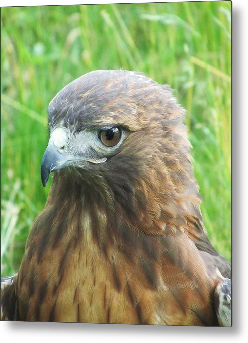 Hawk Metal Print featuring the photograph Hawk-eye by Todd Sherlock