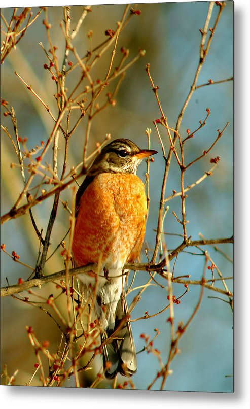 Robin Metal Print featuring the photograph 020411-61 by Mike Davis