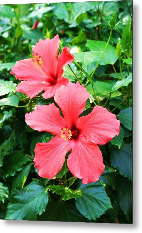 Flowering Plant Metal Print featuring the photograph Hibiscus by Michael C Crane