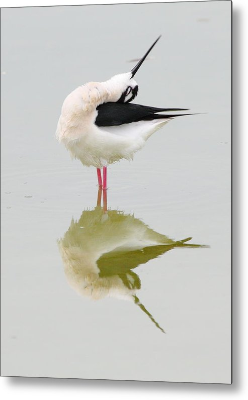 Black-necked Stilt Metal Print featuring the photograph Stretch by Andrew McInnes