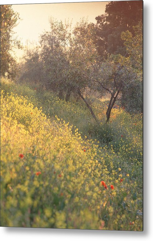 Tuscany Metal Print featuring the photograph Olive Grovetuscany by Michael Hudson