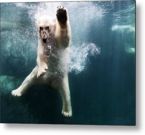 Diving Into Water Metal Print featuring the photograph Polarbear In Water by Henrik Sorensen