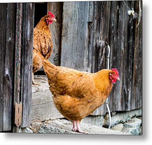 Chicken Rooster Farm Farm Yard Comb Feathers Farming Agriculture Metal Print featuring the photograph Chickens at the Barn by Edward Fielding