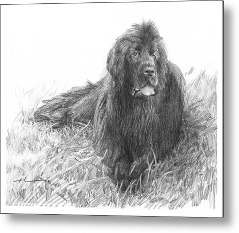 <a Href=http://miketheuer.com Target =_blank>www.miketheuer.com</a> Newfoundland Dog Pencil Portrait Metal Print featuring the drawing Newfoundland Dog Pencil Portrait by Mike Theuer