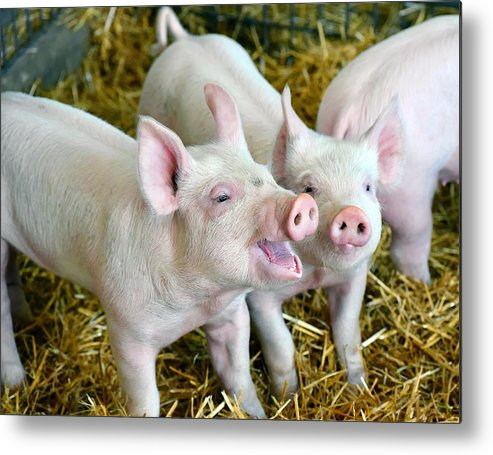 Pig Metal Print featuring the photograph Playful Piggies by Colette222