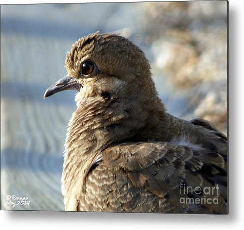 Birds Metal Print featuring the photograph The Dove by Rennae Christman