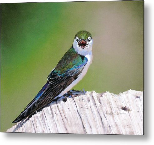 Birds Metal Print featuring the painting Violet Green Swallow by Dianna Ponting