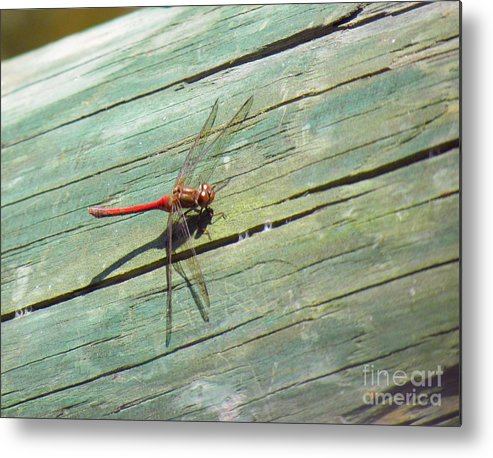 Damselfly Metal Print featuring the photograph Damselfly ready for liftoff by Rrrose Pix