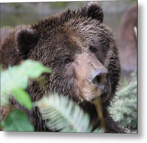 Northwest Trek Metal Print featuring the photograph Grizzley - 0005 by S and S Photo