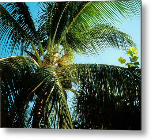 Jamaica Metal Print featuring the photograph Coconut Tree by Debbie Levene