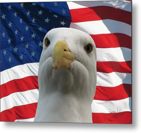 Darin Volpe Animals Metal Print featuring the photograph I'm An Eagle, Dammit -- Western Gull And American Flag by Darin Volpe