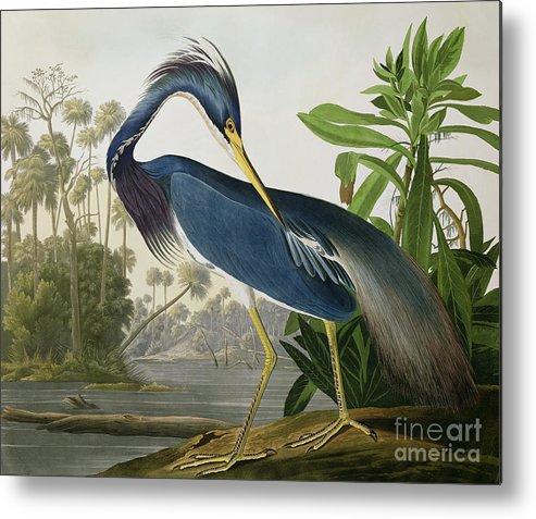 Louisiana Heron Metal Print featuring the painting Louisiana Heron by John James Audubon